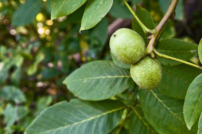 Листва грецкого ореха